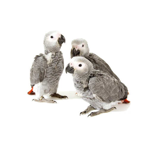 Baby African Grey Congo Parrots - for sale