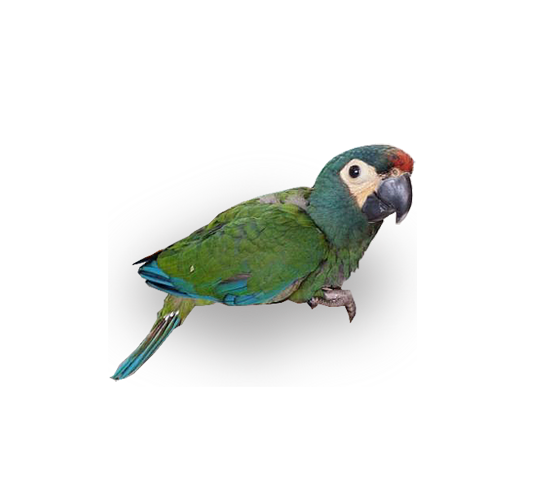 Baby Illiger Macaws - for sale